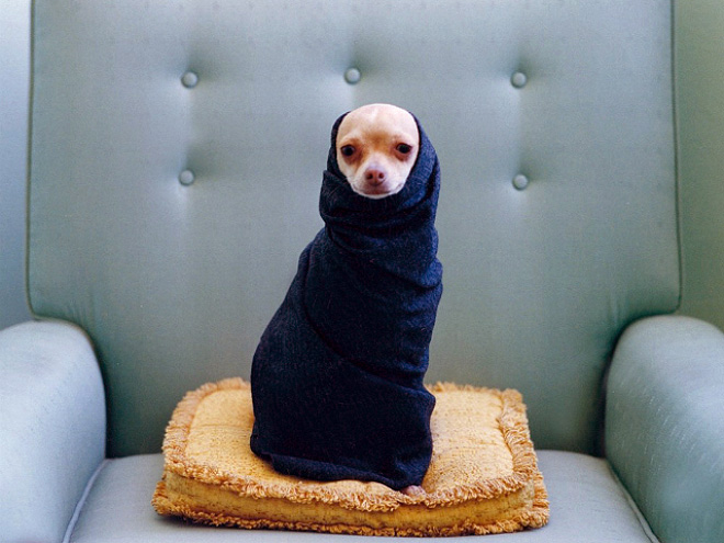perro chihuahua envuelto en una toalla