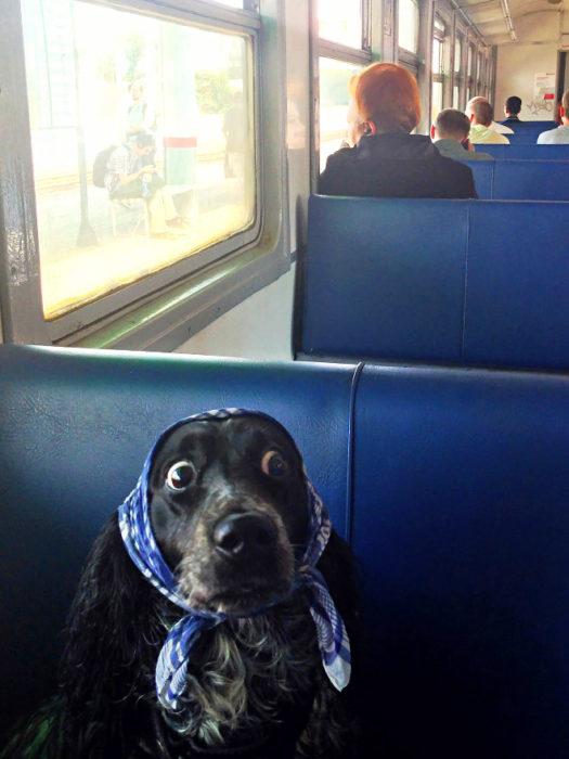 perro con mascada en la cabeza en el tren