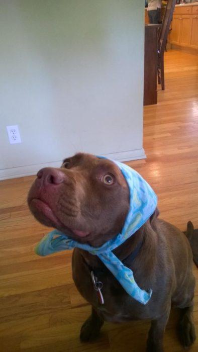 pitbull con mascada azul