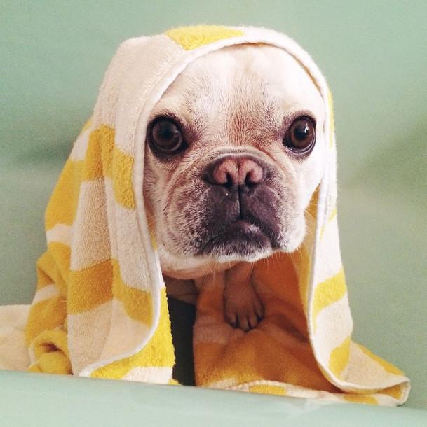 perro bulldog ingles con toalla en la cabeza