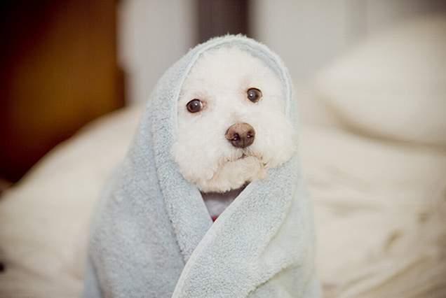 perro blanco enredado en una toalla