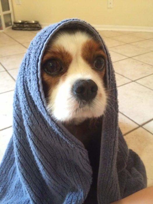perro coker con toalla azul