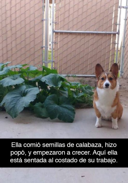 Snapchat perros - corgi calabazas