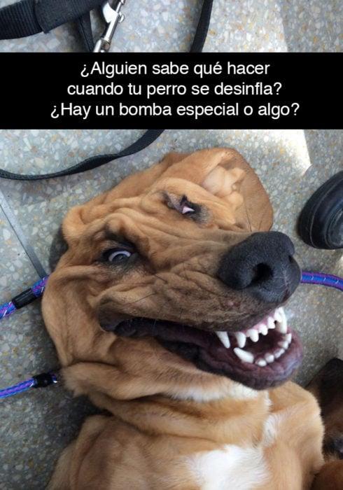Snapchat perros - perro desinflado