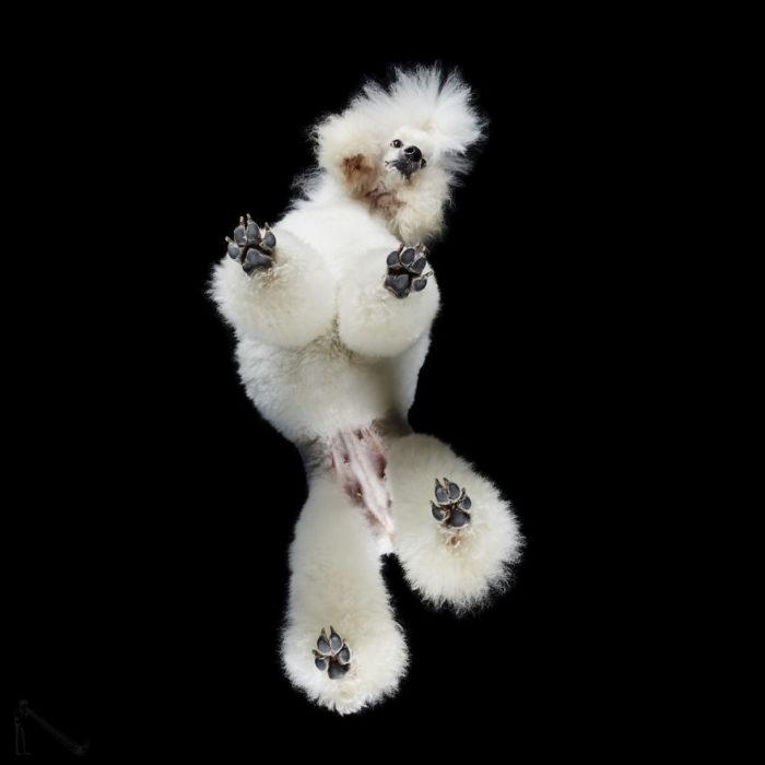 french poodle visto de abajo
