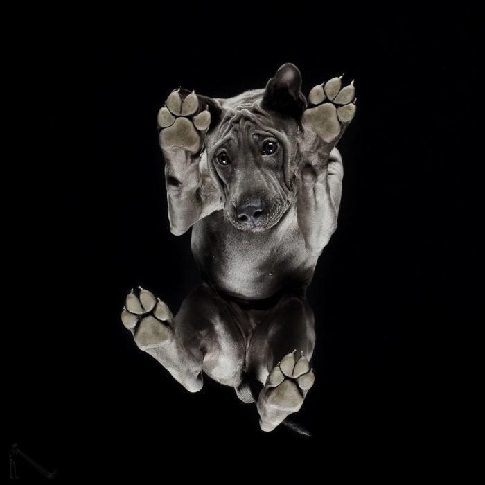 perro pitbull visto de abajo