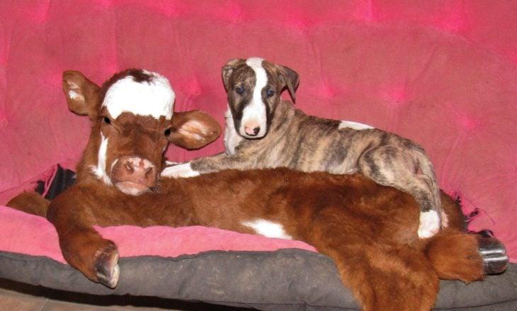 vaca y cachorro acostados juntos
