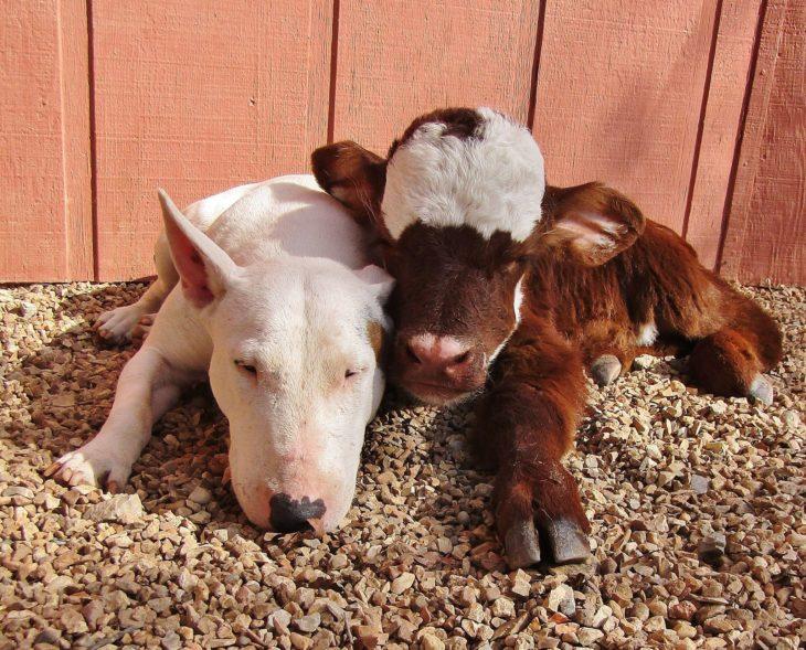 vaca y perro acostados