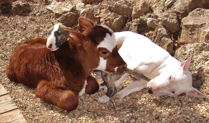 vaca acostada con otros dos perros
