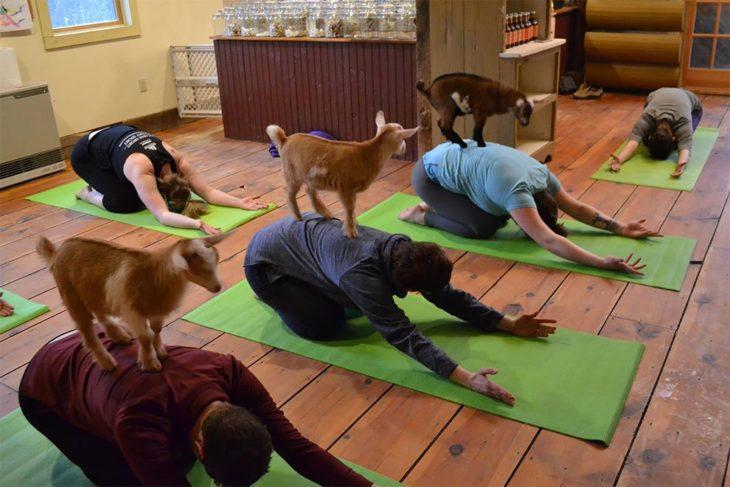 yoga con cabras 6