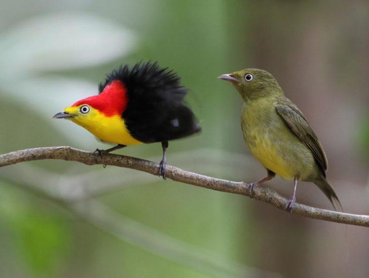 ave cabeza roja