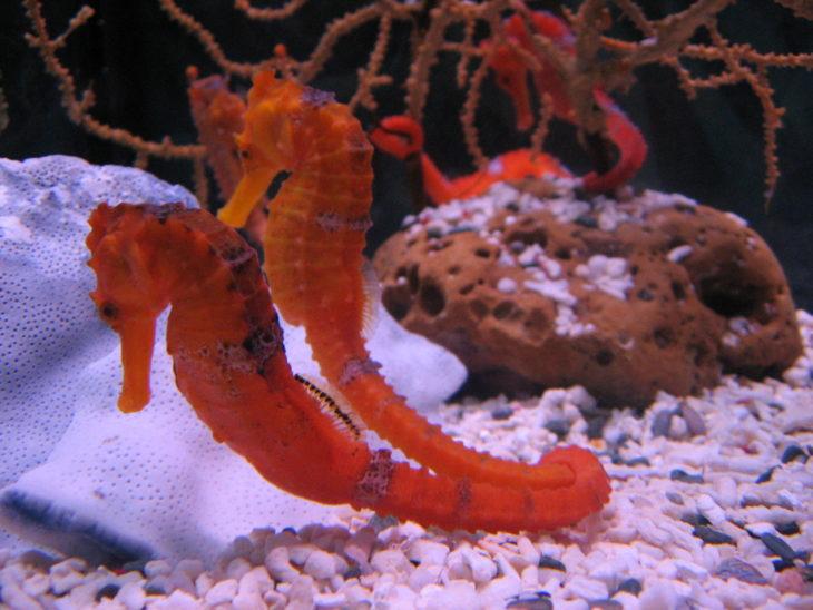caballos de mar naranja