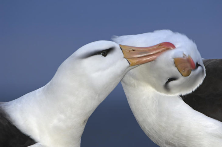 albatros ave