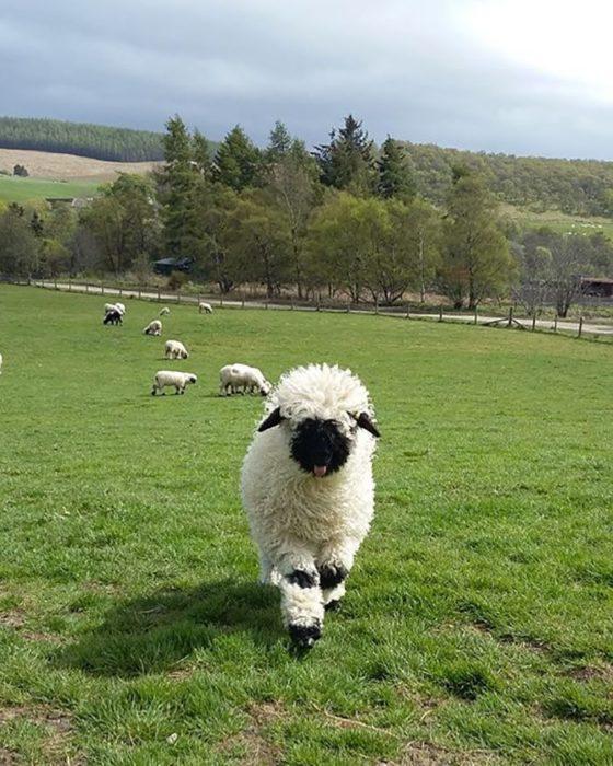 borrego cara negra lana larga blanca