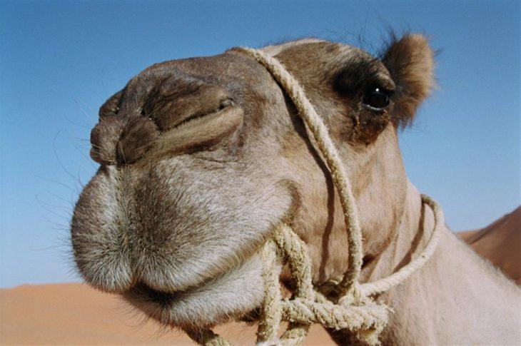 camellos con tres parpados