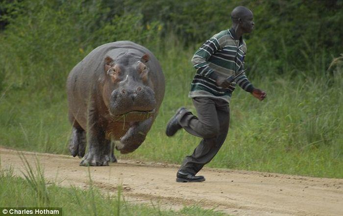 hipopotamo corriendo