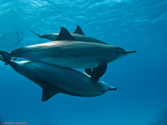 delfines apareandose