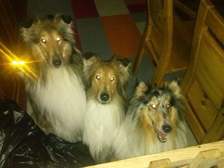 foto nocturna en la que le brillan los ojos a tres perros y a un gato