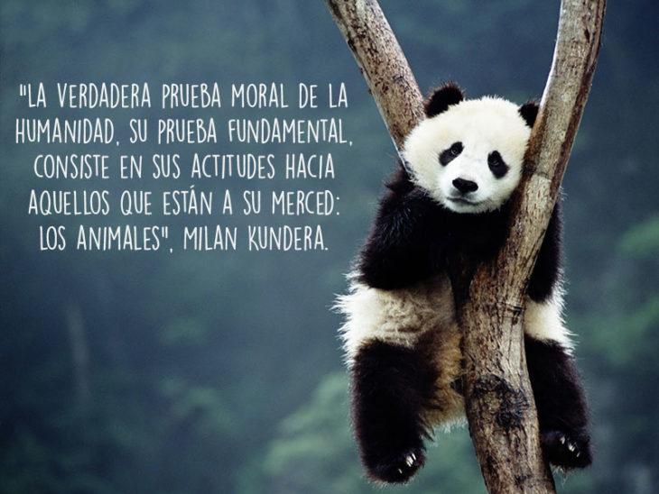panda animales fotografía frase Natgeo