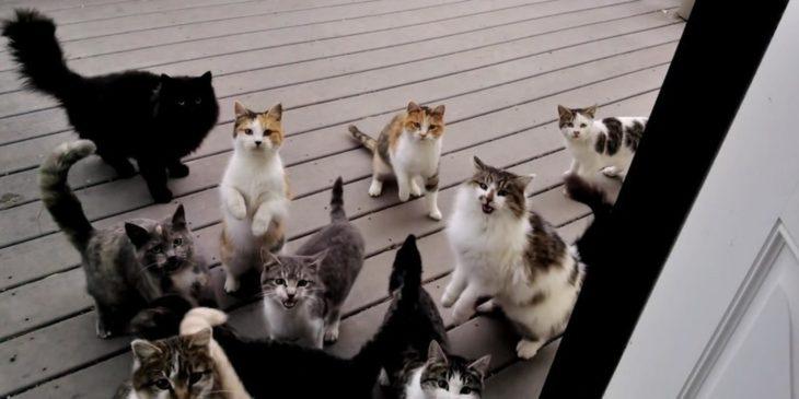 gatos maullidos