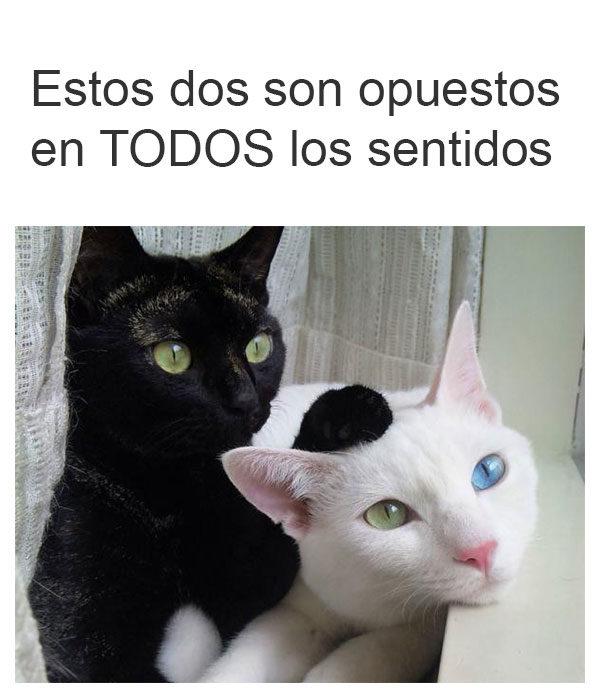 gatos opuestos en todos los sentidos
