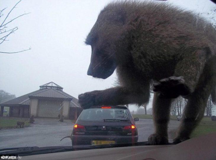 lusión óptica de un primate aplastando un carro