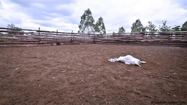 vaca muerta granja