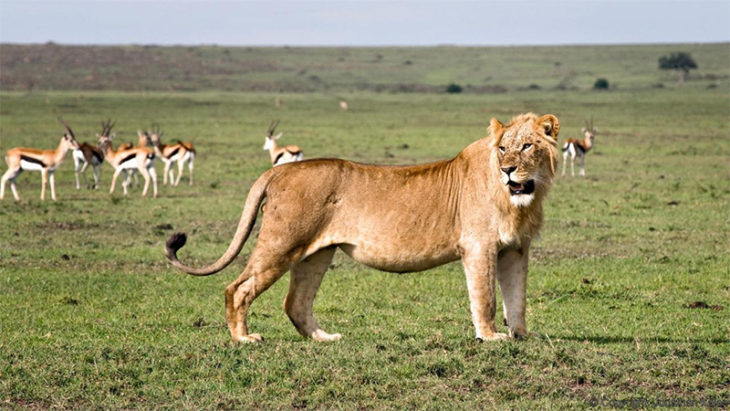 León salvaje