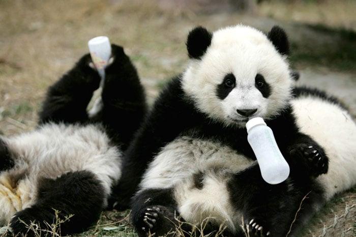 osos panda bebiendo biberón