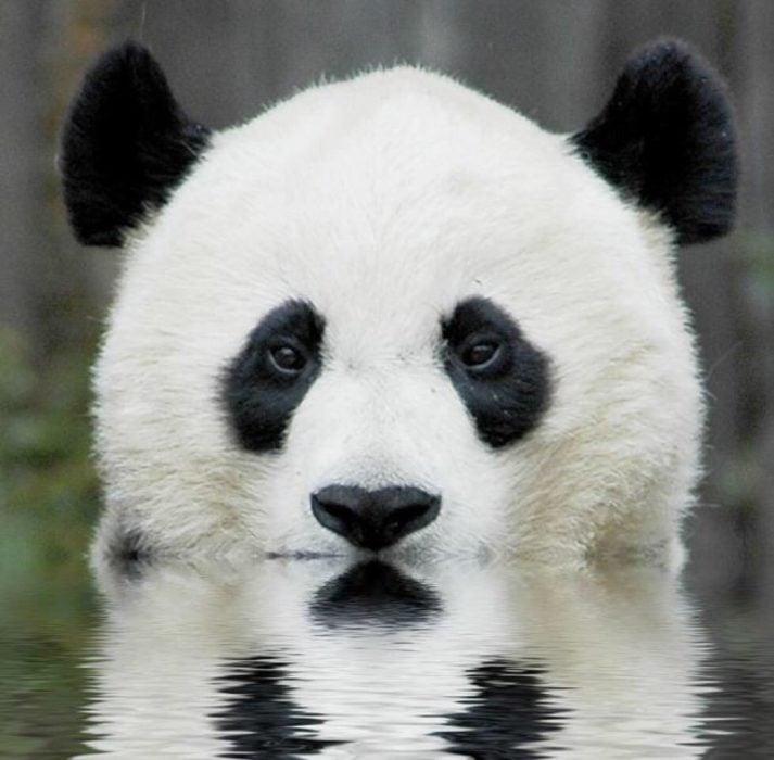 oso panda reflejo lago