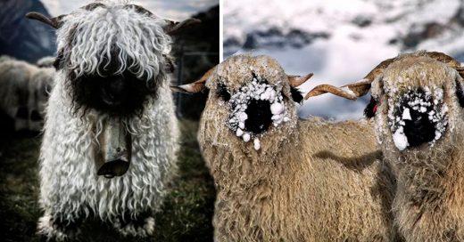 Cover La gente no entiende si estas ovejas son lindas o aterradoras