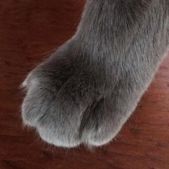 pata gato gris