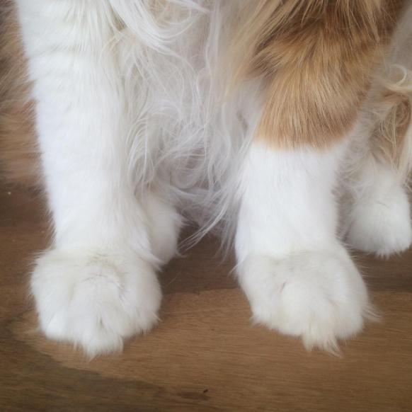 patas gato naranja