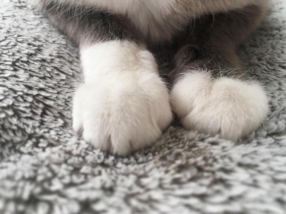 patas esponjosas gatos