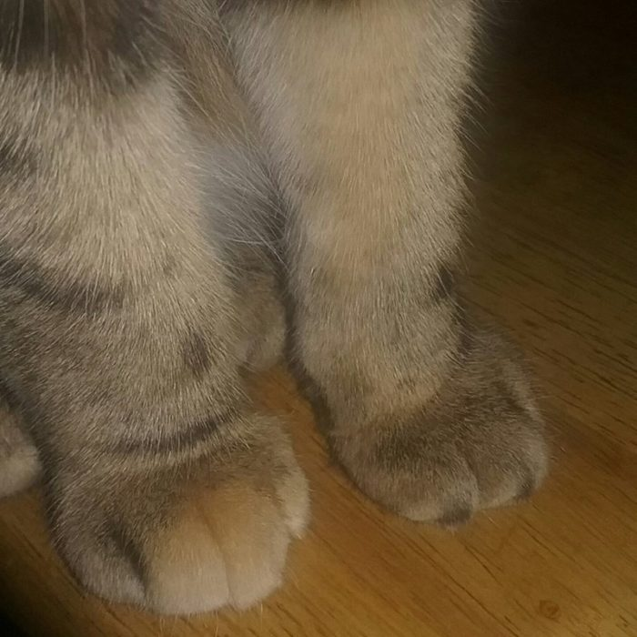 gato patas manchadas colores