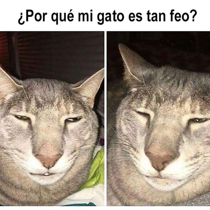 meme gato feo