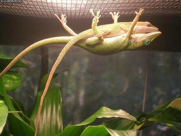 camaleón vela los sueños de su hembra