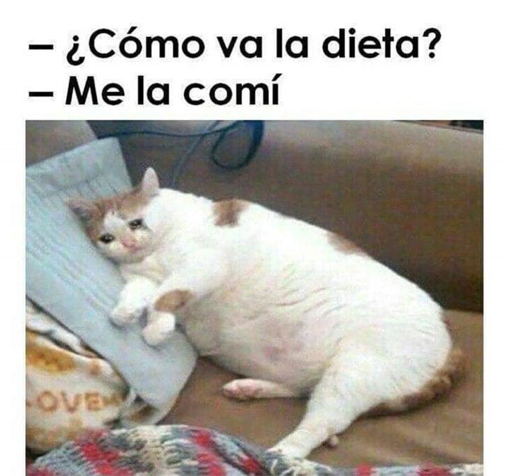 meme dieta gato gordo
