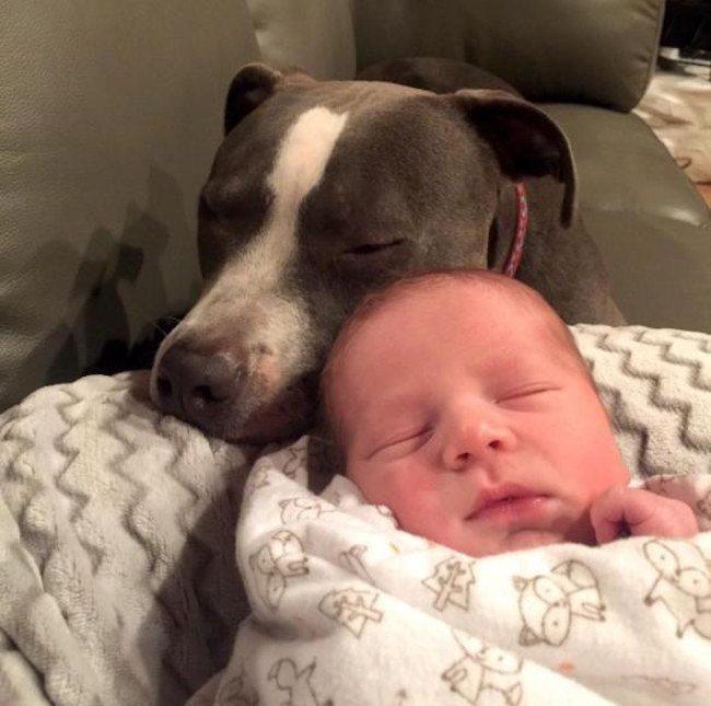 pitbull y bebé dormidos