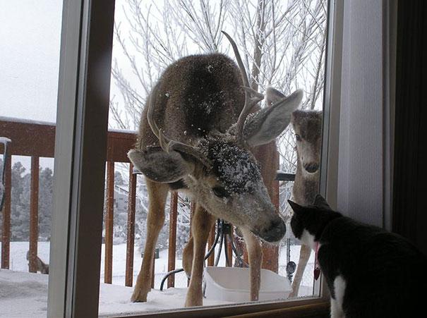Venados queriendo entrar a la casa