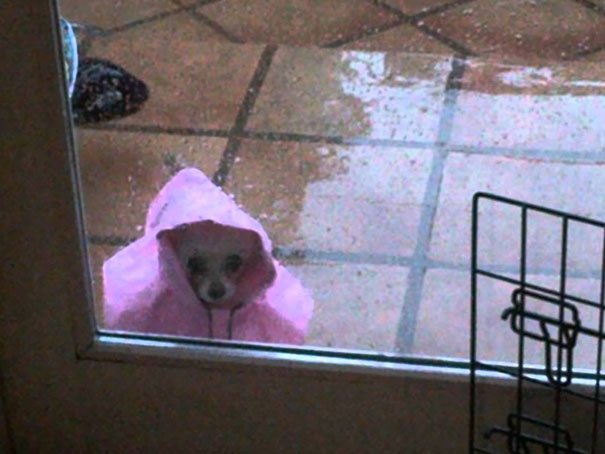 Pequeño chihuahua con impermeable rosa afuera
