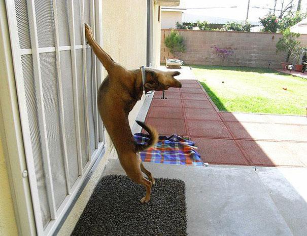 Perro ladrando dramáticamente para que lo dejen entrar