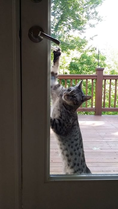 gato queriendo abrir la puerta
