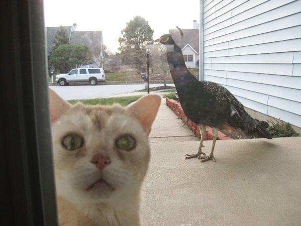 Gato afuera queriendo entrar con cara de asustado porque hay un pavorreal afuera
