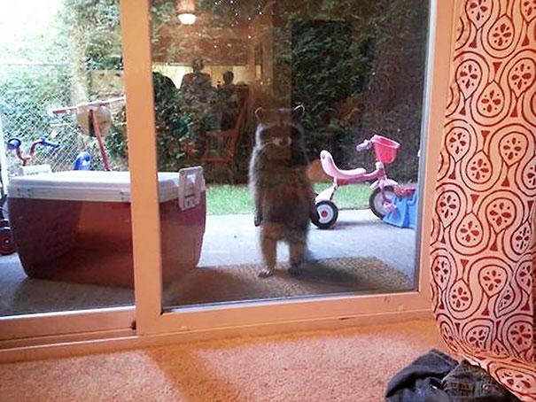 Mapache parado en dos patas asomado por la ventana