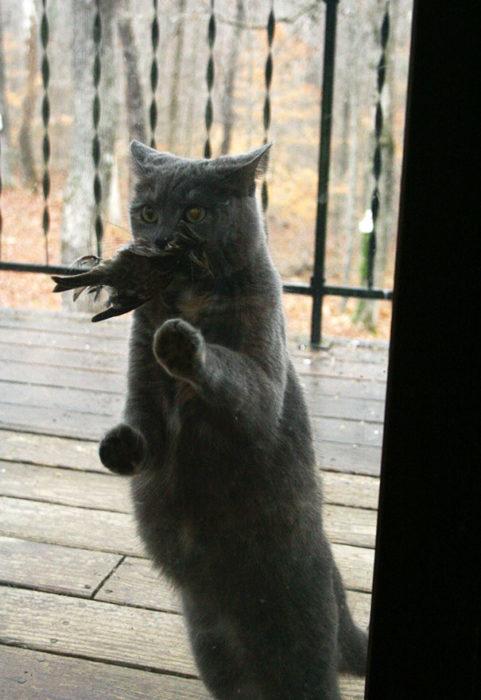 Gato con pájaro en el hocico esperando que le abran la puerta