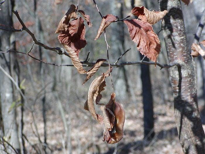 murciélago rojo camuflaje