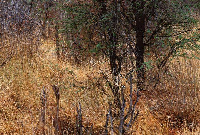 camuflaje impala naturaleza
