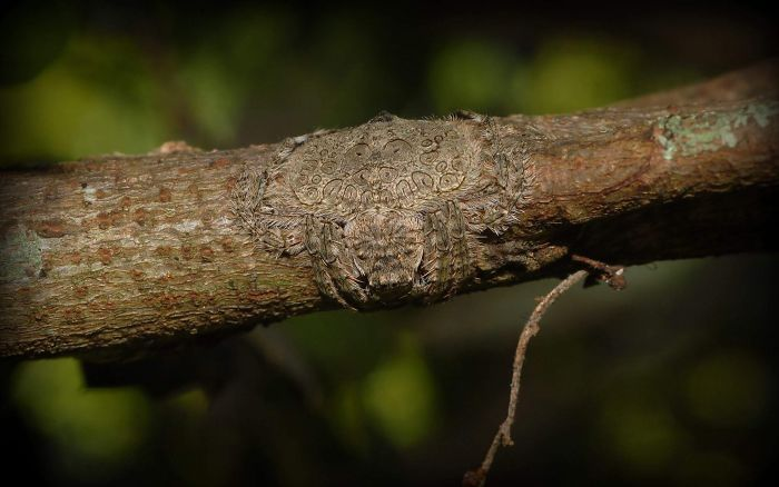 araña atrapadora camuflaje
