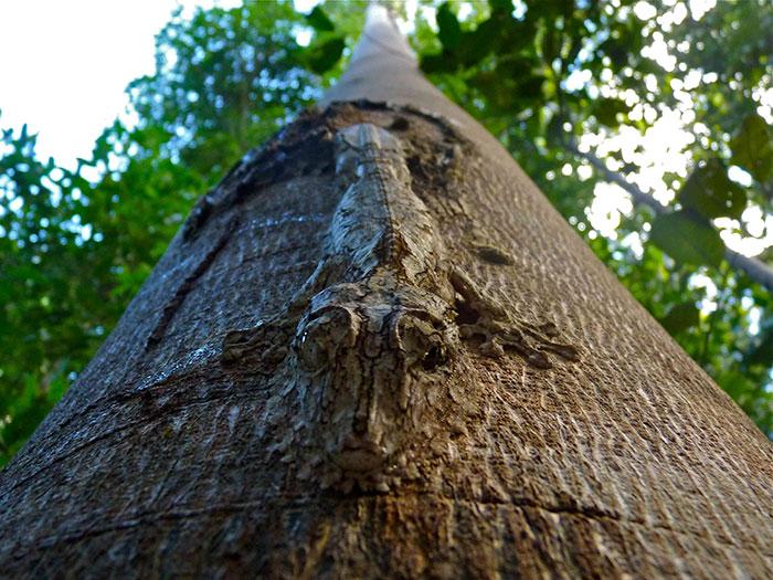 uroplatus camuflado naturaleza